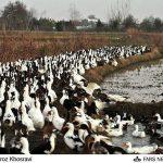 کانال اتحادیه اردک داران (کانال پرورش و خرید و فروش اردک )